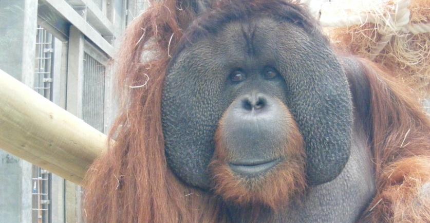rajang the orangutan